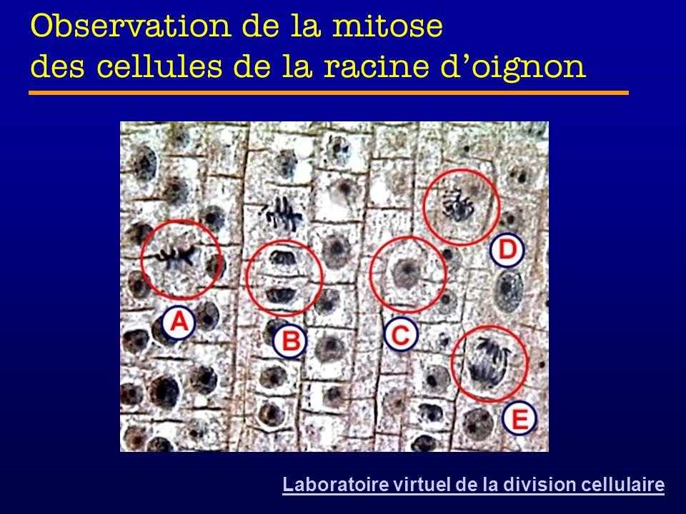 Observation de la mitose des cellules de la racine doignon Laboratoire virtuel de la division cellulaire