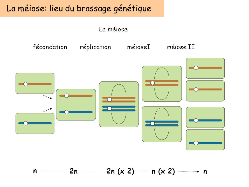 fécondationréplicationméioseIméiose II La méiose: lieu du brassage génétique n 2n2n (x 2)n (x 2)n La méiose