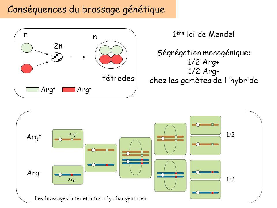 Conséquences du brassage génétique n 2n n tétrades Arg + Arg - 1 ére loi de Mendel Ségrégation monogénique: 1/2 Arg+ 1/2 Arg- chez les gamètes de l hy
