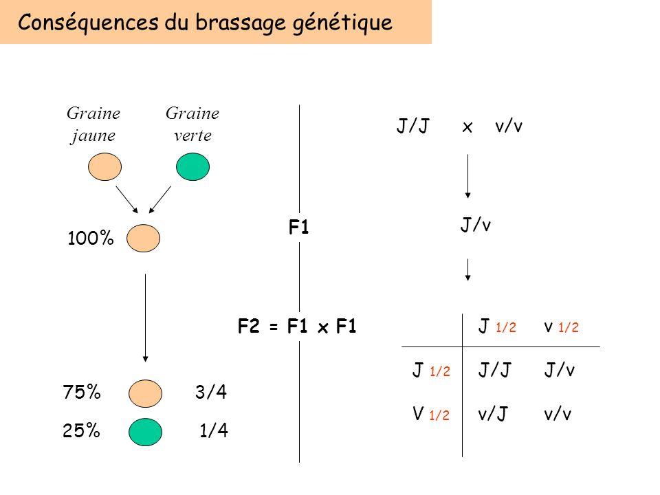Conséquences du brassage génétique 75%3/4 25% 1/4 F1 F2 = F1 x F1 Graine verte Graine jaune 100% J/Jx v/v J/v J 1/2 v 1/2 J 1/2 J/JJ/v V 1/2 v/Jv/v