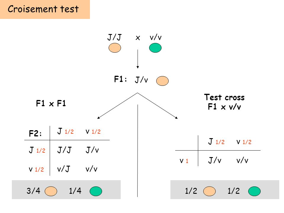 Croisement test F1: F2: J/Jx v/v J/v J 1/2 v 1/2 J 1/2 J/JJ/v v 1/2 v/Jv/v J 1/2 v 1/2 v 1 J/vv/v Test cross F1 x v/v F1 x F1 3/41/41/2
