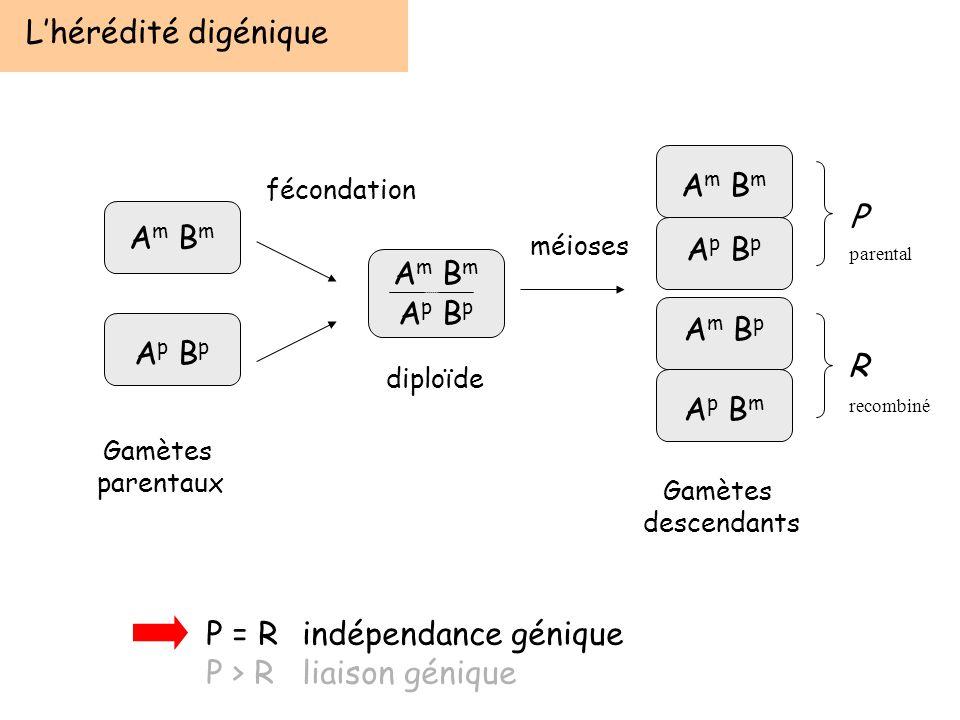 Lhérédité digénique A m B m A p B p A m B m A p B p A m B p A p B m P R fécondation méioses diploïde Gamètes parentaux Gamètes descendants P = Rindépe