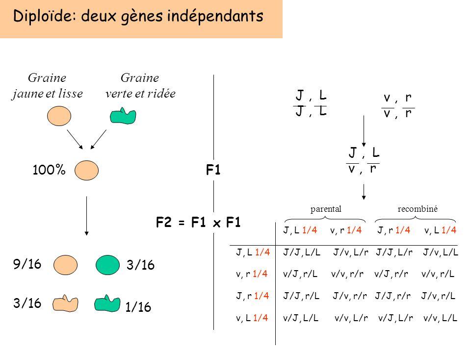 Diploïde: deux gènes indépendants F1 F2 = F1 x F1 Graine verte et ridée Graine jaune et lisse 100% 9/16 3/16 1/16 J, L J, L 1/4 v, r 1/4 J, r 1/4 v, L
