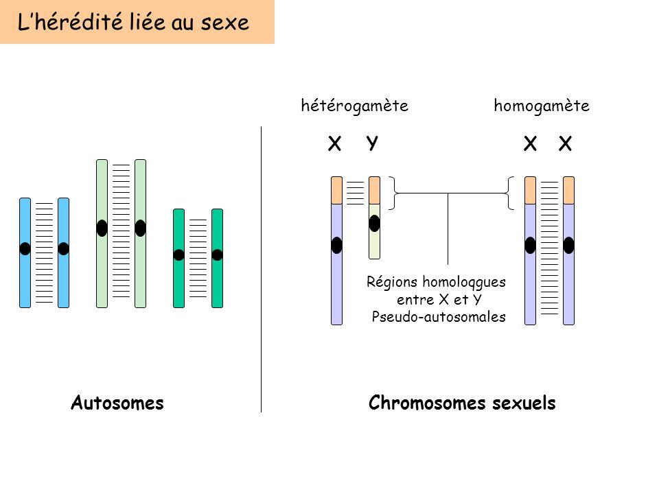 Lhérédité liée au sexe AutosomesChromosomes sexuels XYXX Régions homoloqgues entre X et Y Pseudo-autosomales hétérogamètehomogamète