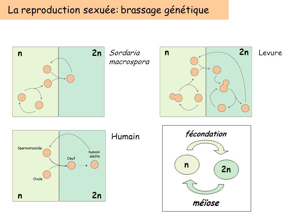 La reproduction sexuée: brassage génétique Sordaria macrospora Levure n2n n n Humain n 2n fécondation méïose