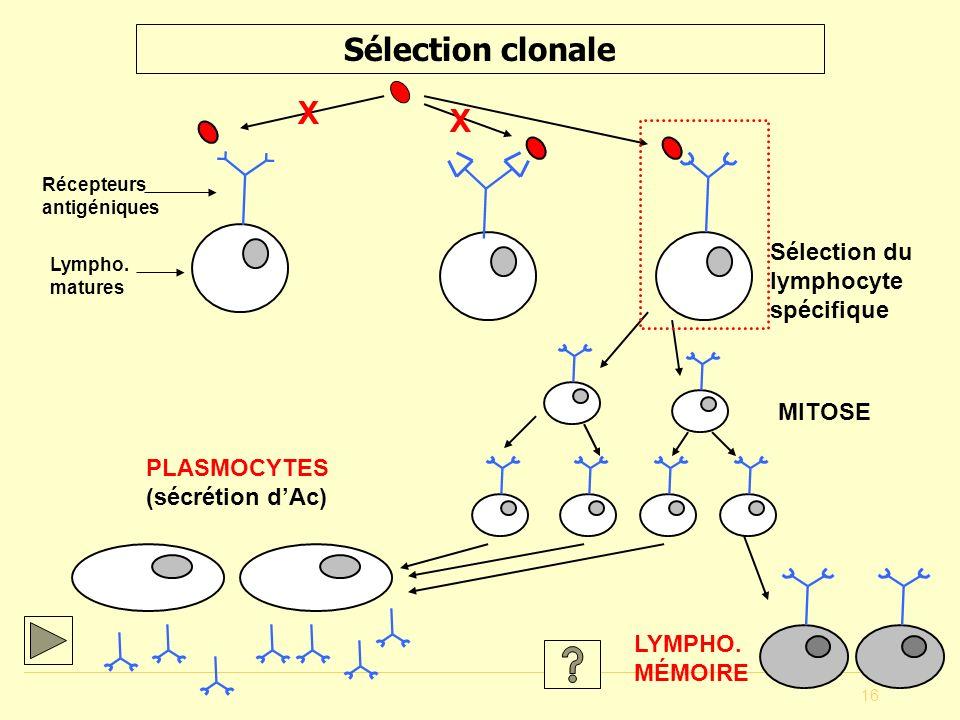 16 Sélection clonale Lympho. matures Récepteurs antigéniques X X MITOSE PLASMOCYTES (sécrétion dAc) LYMPHO. MÉMOIRE Sélection du lymphocyte spécifique