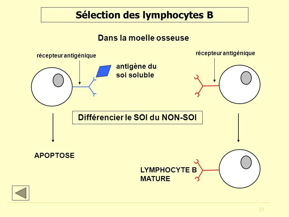 21 Sélection des lymphocytes B Dans la moelle osseuse antigène du soi soluble APOPTOSE LYMPHOCYTE B MATURE Différencier le SOI du NON-SOI récepteur an