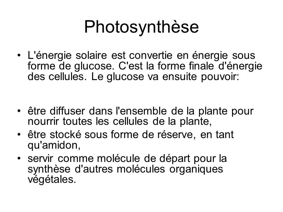 Photosynthèse L'énergie solaire est convertie en énergie sous forme de glucose. C'est la forme finale d'énergie des cellules. Le glucose va ensuite po