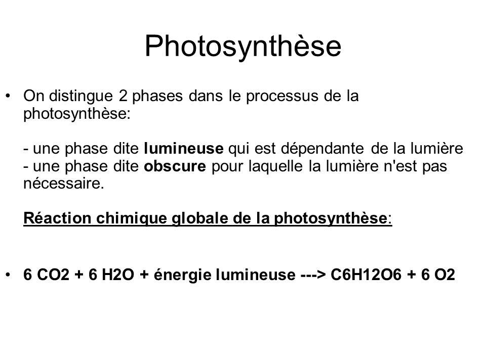 On distingue 2 phases dans le processus de la photosynthèse: - une phase dite lumineuse qui est dépendante de la lumière - une phase dite obscure pour