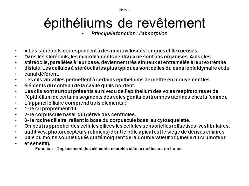 Histo 12 Les sécrétions polarisées des cellules des épithéliums de revêtement sont le plus souvent exocrines.