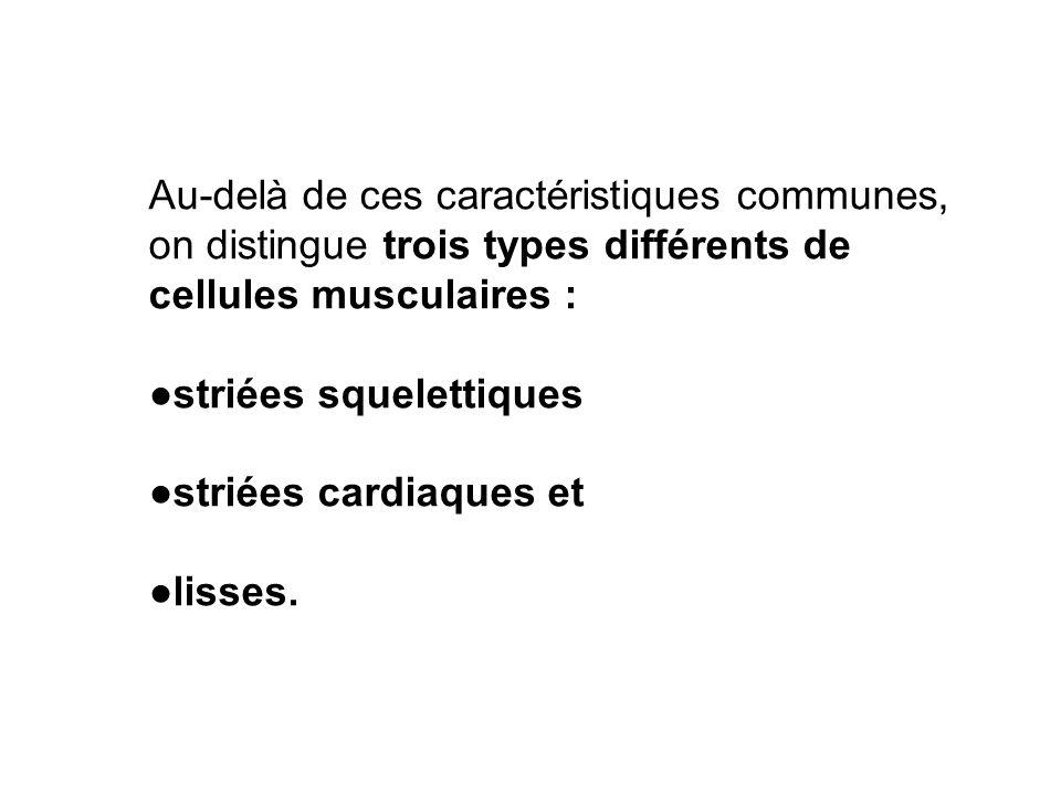Au-delà de ces caractéristiques communes, on distingue trois types différents de cellules musculaires : striées squelettiques striées cardiaques et li