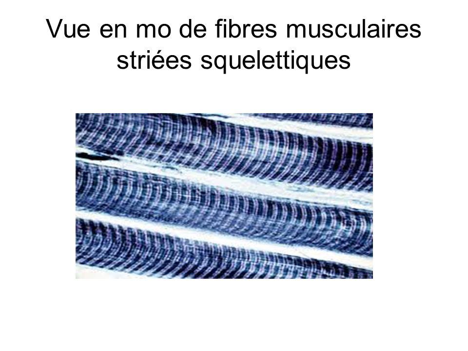 Coupe longitudinale dune fibre musculaire striée