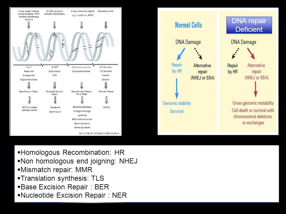 Ashworth, A. J Clin Oncol; 26:3785-3790 2008 DNA repair Deficient Homologous Recombination: HR Non homologous end joigning: NHEJ Mismatch repair: MMR