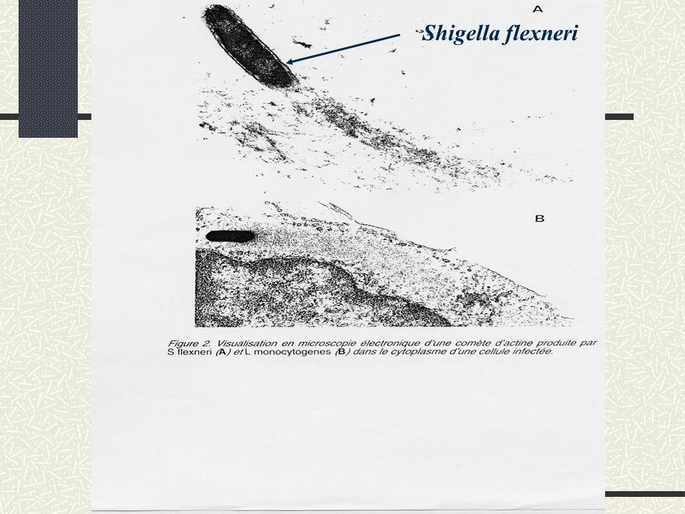 Pathogénie la toxine de Shiga Libérée pendant la lyse de la bactérie (localisation périplasmique) PM: 70 kDa, protéine multimérique composée dune sous-unité A catalytique de 32 kDa et de 5 SU B de fixation de 7,7 kDa Déterminisme chromosomique Bacille de Shiga