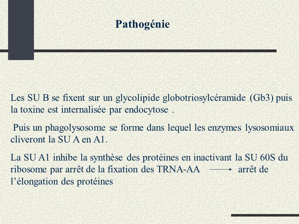 Autres activités de la toxine de Shiga Effet neurotoxique (effet de paralysie chez le lapin après inj IV) Effet entérotoxique (accumulation de liquide hémorragique dans anses ligaturées intestinales de lapin) Effet cytotoxique sur cellules HeLa Pathogénie