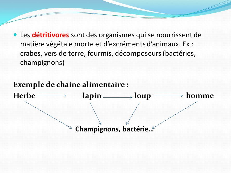 Les détritivores sont des organismes qui se nourrissent de matière végétale morte et dexcréments danimaux. Ex : crabes, vers de terre, fourmis, décomp