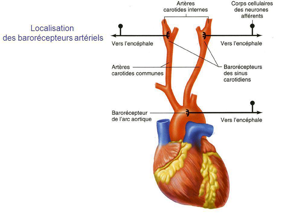 Autres hormones Le facteur atrial natriurétique (ANF), qui trouve son origine au niveau des cavités cardiaques et plus particulièrement au niveau des oreillettes, est vasodilatateur et augmente la natriurèse.