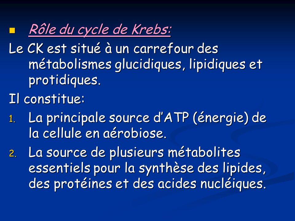 Rôle du cycle de Krebs: Rôle du cycle de Krebs: Le CK est situé à un carrefour des métabolismes glucidiques, lipidiques et protidiques.