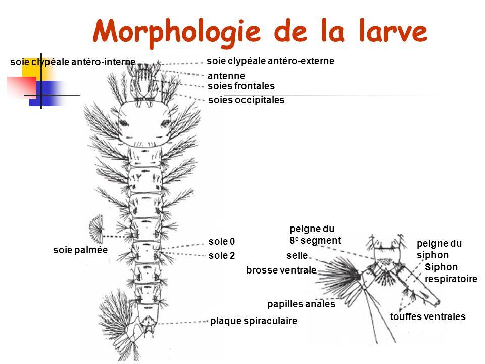 soie clypéale antéro-interne soie clypéale antéro-externe antenne soies frontales soies occipitales soie 0 soie 2 plaque spiraculaire soie palmée peigne du siphon Siphon respiratoire peigne du 8 e segment touffes ventrales papilles anales brosse ventrale selle Morphologie de la larve