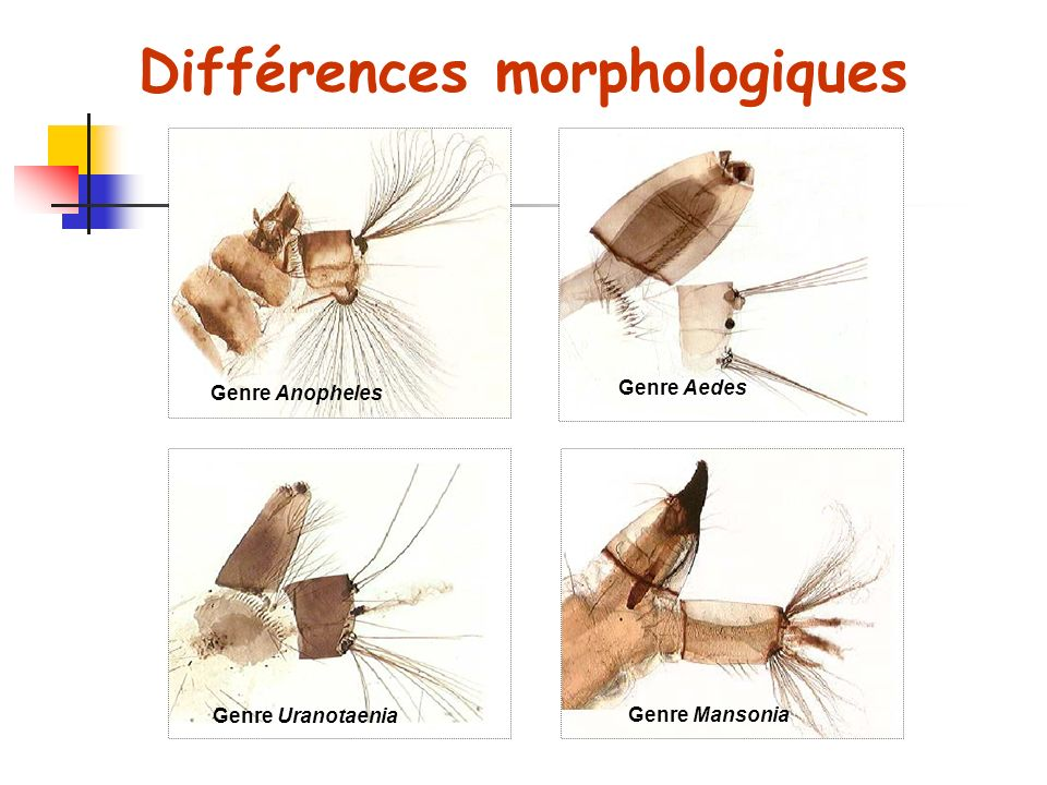 Différences morphologiques Genre Anopheles Genre Aedes Genre Uranotaenia Genre Mansonia