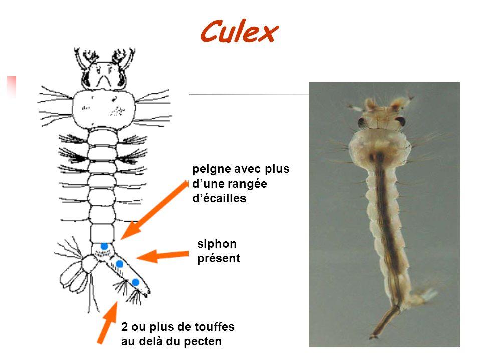 peigne avec plus dune rangée décailles siphon présent 2 ou plus de touffes au delà du pecten Culex