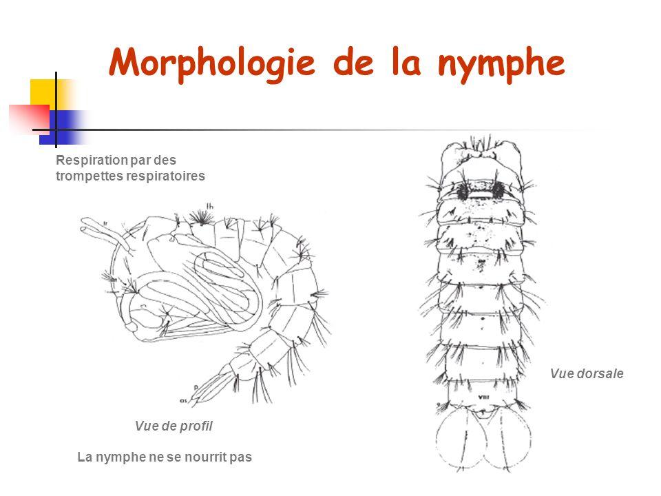 Morphologie de la nymphe Vue de profil Vue dorsale La nymphe ne se nourrit pas Respiration par des trompettes respiratoires