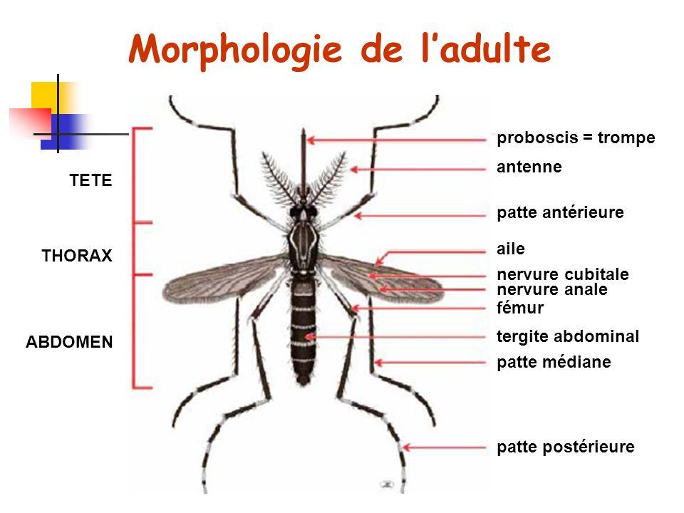 Morphologie de ladulte proboscis = trompe antenne patte antérieure aile nervure cubitale nervure anale fémur tergite abdominal patte postérieure patte médiane TETE THORAX ABDOMEN