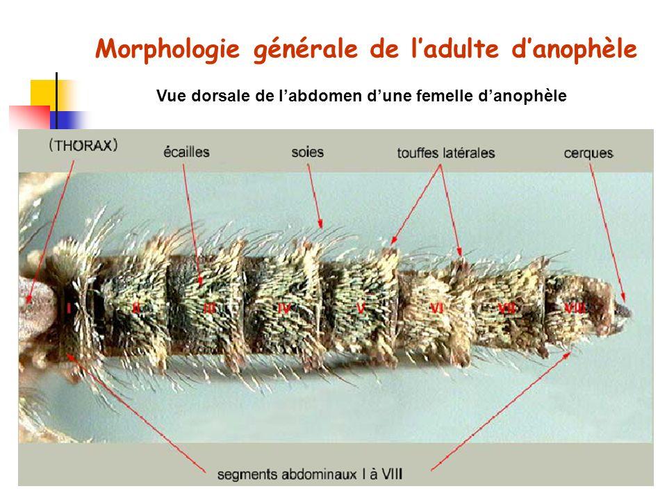 Vue dorsale de labdomen dune femelle danophèle Morphologie générale de ladulte danophèle