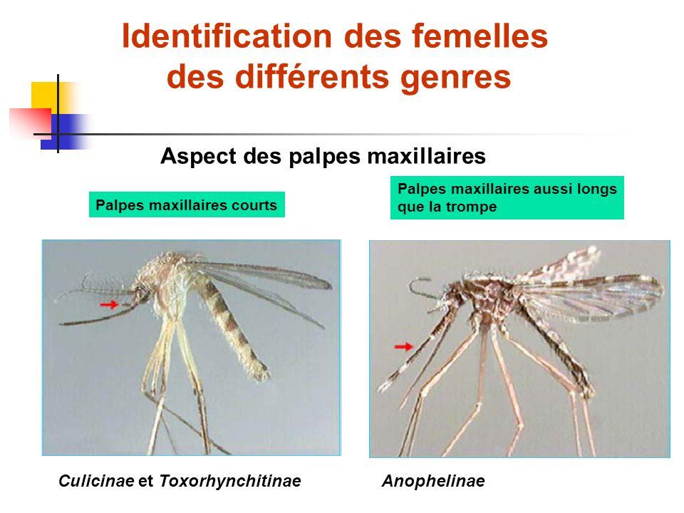 Identification des femelles des différents genres Aspect des palpes maxillaires Palpes maxillaires courts Palpes maxillaires aussi longs que la trompe Culicinae et ToxorhynchitinaeAnophelinae