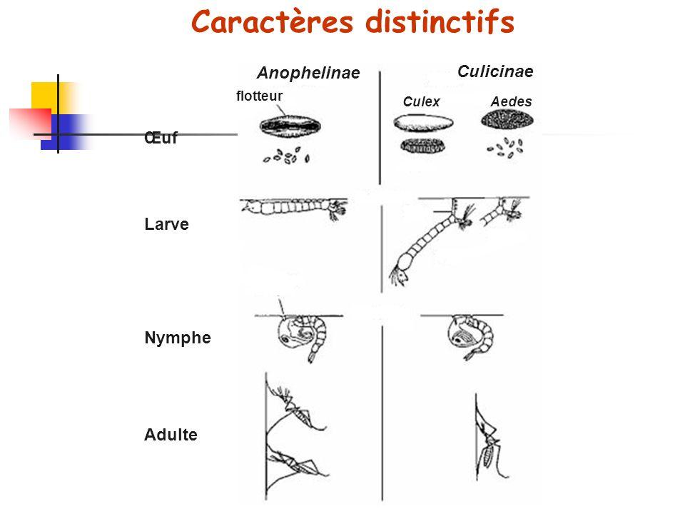 Caractères distinctifs Anophelinae Culicinae flotteur CulexAedes Œuf Larve Nymphe Adulte