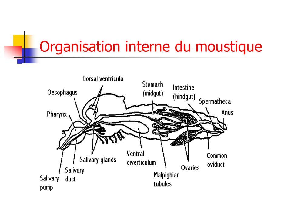 Organisation interne du moustique