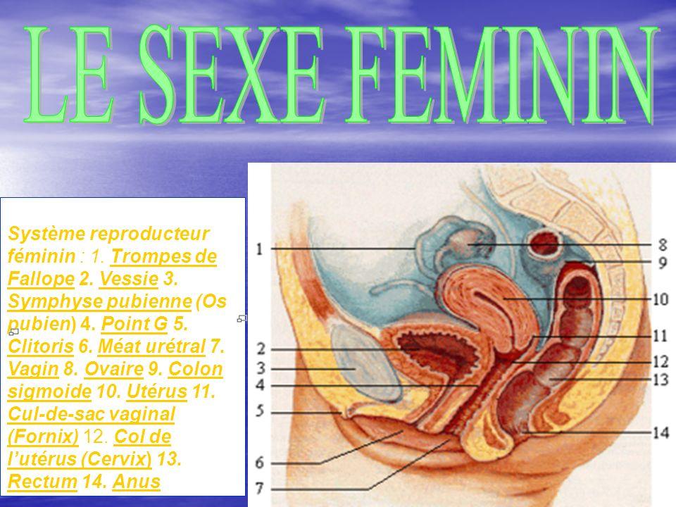 8 Système reproducteur féminin : 1.Trompes de Fallope 2.