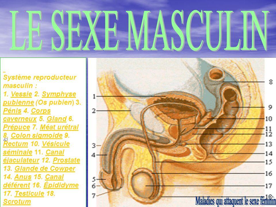 9 Système reproducteur masculin : 1.Vessie 2. Symphyse pubienne (Os pubien) 3.