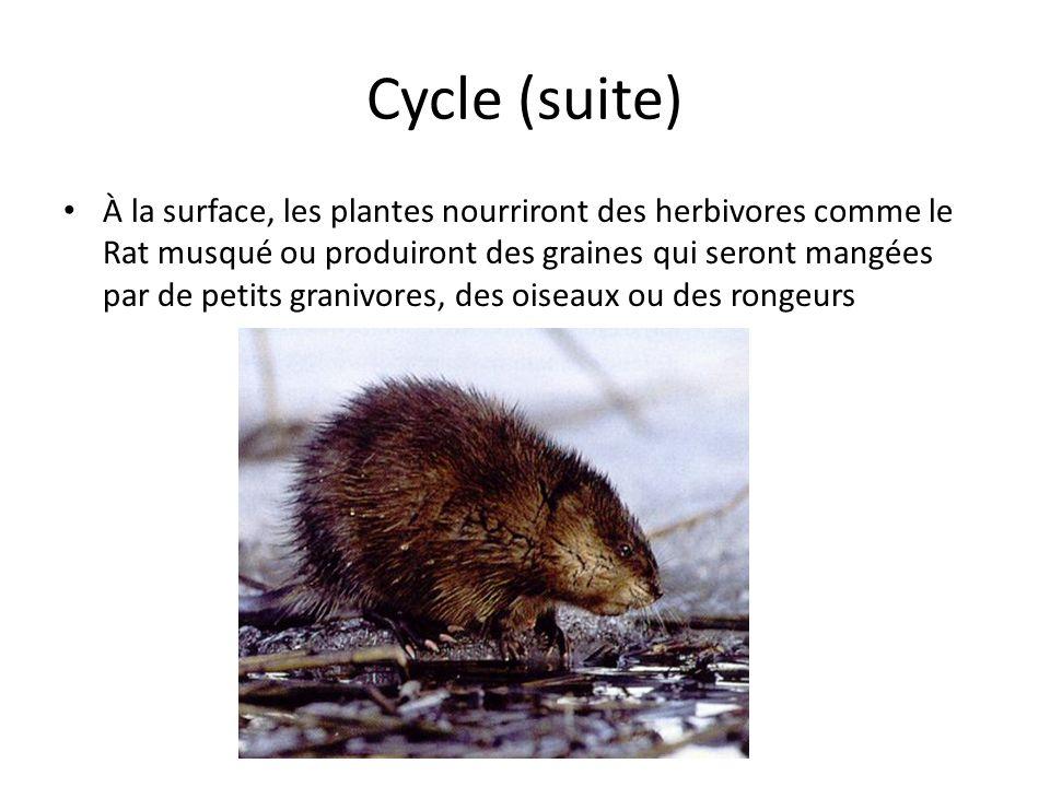Cycle (suite) À la surface, les plantes nourriront des herbivores comme le Rat musqué ou produiront des graines qui seront mangées par de petits grani