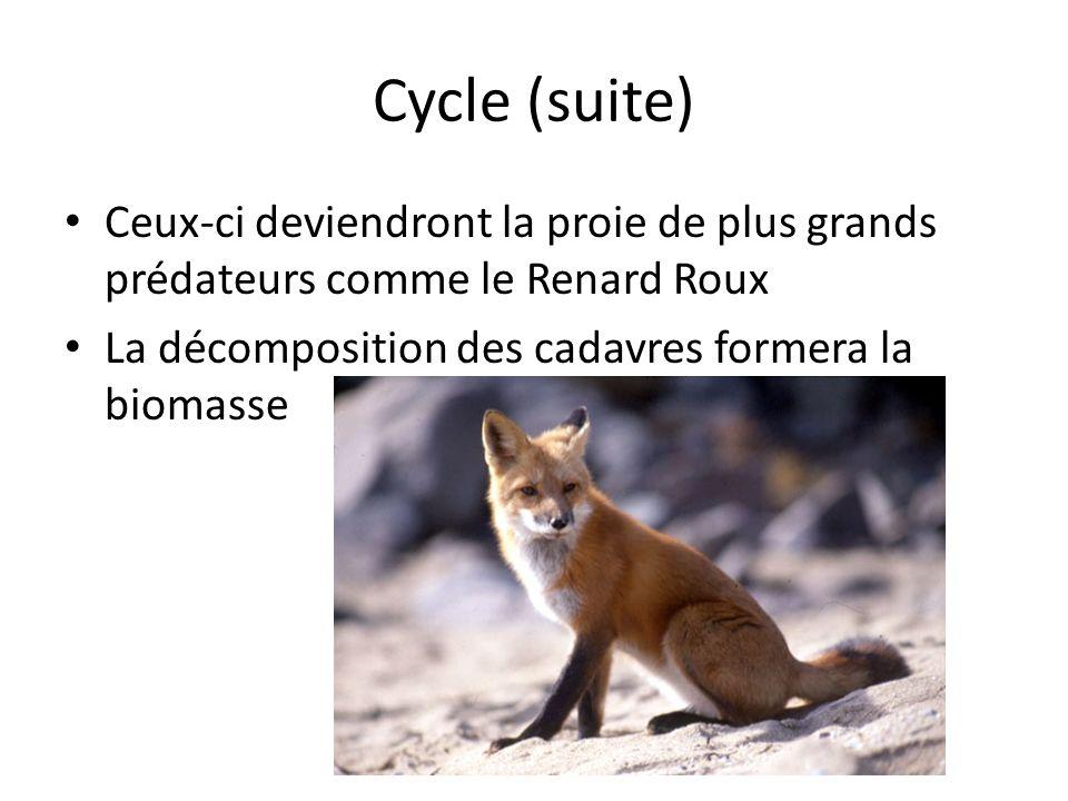 Cycle (suite) Ceux-ci deviendront la proie de plus grands prédateurs comme le Renard Roux La décomposition des cadavres formera la biomasse