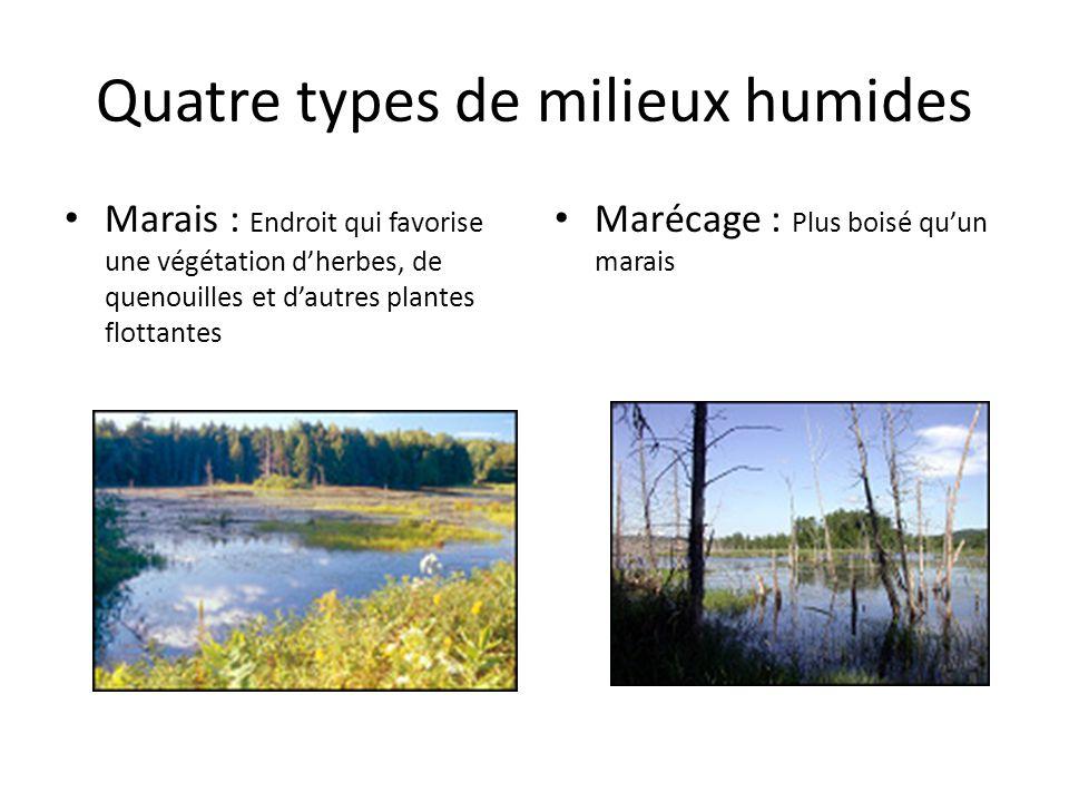 Quatre types de milieux humides Marais : Endroit qui favorise une végétation dherbes, de quenouilles et dautres plantes flottantes Marécage : Plus boi