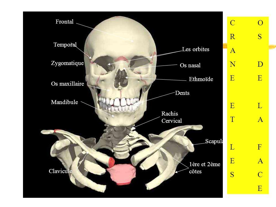 Frontal Temporal Les orbites Os nasal Ethmoïde Zygomatique Os maxillaire Mandibule Dents Scapula Clavicule Rachis Cervical 1ère et 2ème côtes CORSANDE