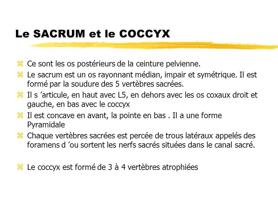 Le SACRUM et le COCCYX zCe sont les os postérieurs de la ceinture pelvienne. zLe sacrum est un os rayonnant médian, impair et symétrique. Il est formé