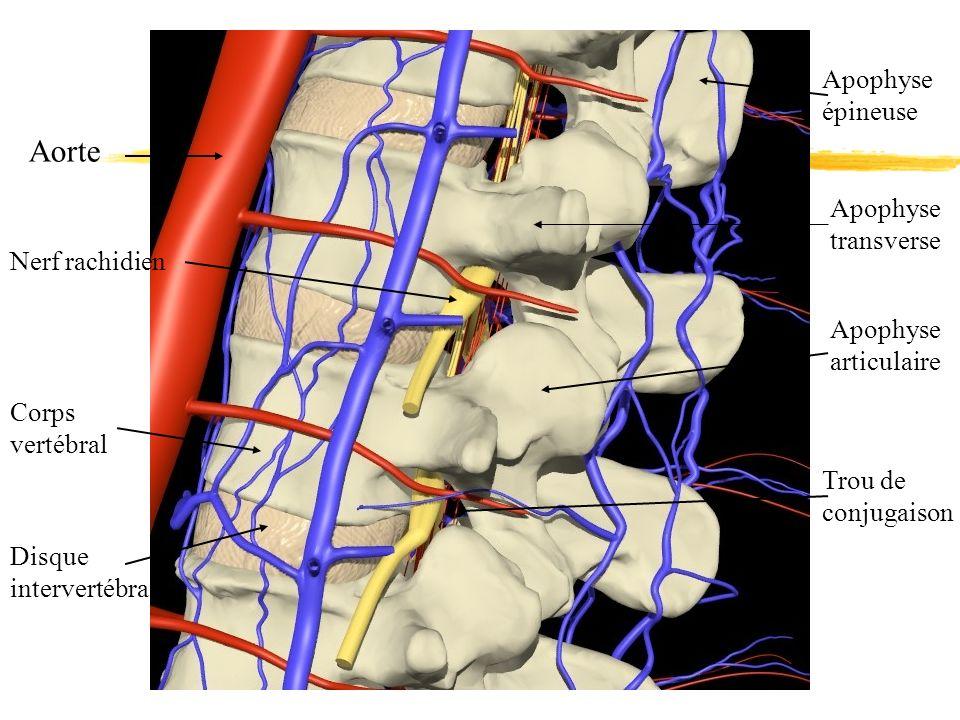 Aorte Nerf rachidien Apophyse épineuse Apophyse transverse Apophyse articulaire Trou de conjugaison Corps vertébral Disque intervertébral