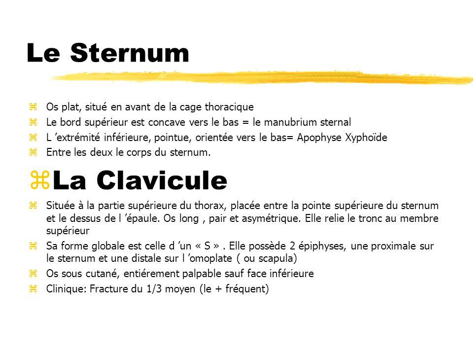 Le Sternum zOs plat, situé en avant de la cage thoracique zLe bord supérieur est concave vers le bas = le manubrium sternal zL extrémité inférieure, p