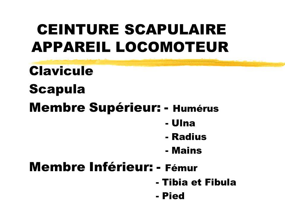 CEINTURE SCAPULAIRE APPAREIL LOCOMOTEUR Clavicule Scapula Membre Supérieur: - Humérus - Ulna - Radius - Mains Membre Inférieur: - Fémur - Tibia et Fib