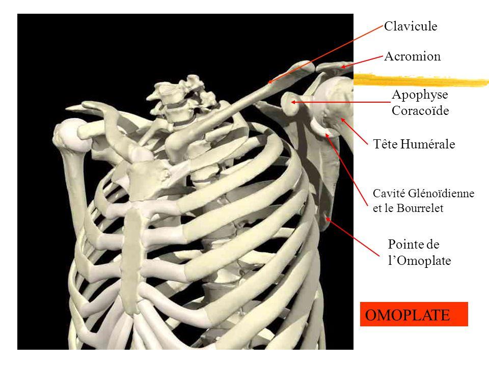 Clavicule Acromion Apophyse Coracoïde Cavité Glénoïdienne et le Bourrelet Pointe de lOmoplate Tête Humérale OMOPLATE