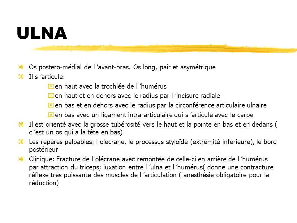 ULNA zOs postero-médial de l avant-bras. Os long, pair et asymétrique zIl s articule: xen haut avec la trochlée de l humérus xen haut et en dehors ave
