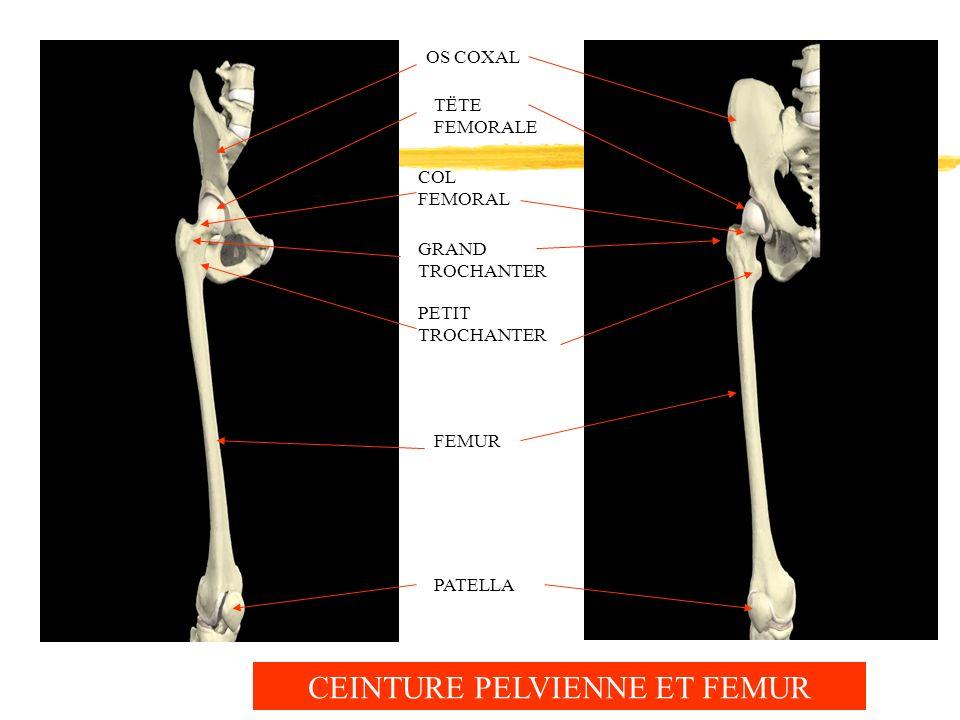 PATELLA FEMUR PETIT TROCHANTER GRAND TROCHANTER OS COXAL TËTE FEMORALE COL FEMORAL CEINTURE PELVIENNE ET FEMUR