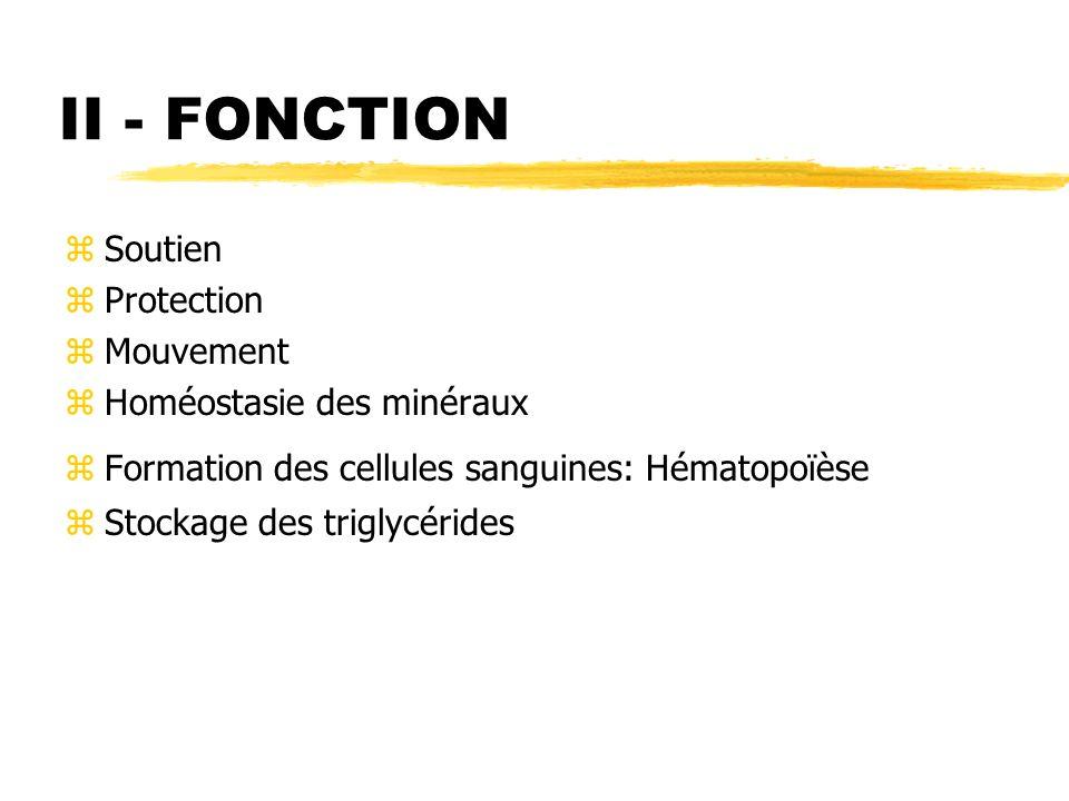 II - FONCTION zSoutien zProtection zMouvement zHoméostasie des minéraux zFormation des cellules sanguines: Hématopoïèse zStockage des triglycérides