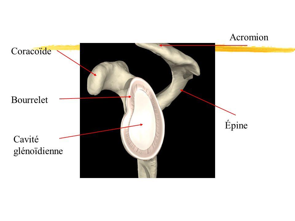 Coracoïde Bourrelet Cavité glénoïdienne Épine Acromion