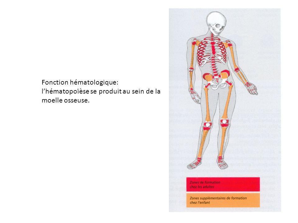 Fonction hématologique: lhématopoïèse se produit au sein de la moelle osseuse.