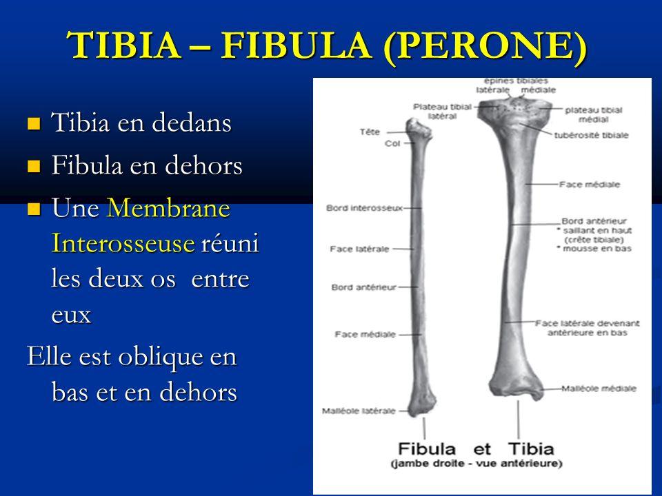 TIBIA – FIBULA (PERONE) TIBIA – FIBULA (PERONE) Tibia en dedans Tibia en dedans Fibula en dehors Fibula en dehors Une Membrane Interosseuse réuni les deux os entre eux Une Membrane Interosseuse réuni les deux os entre eux Elle est oblique en bas et en dehors
