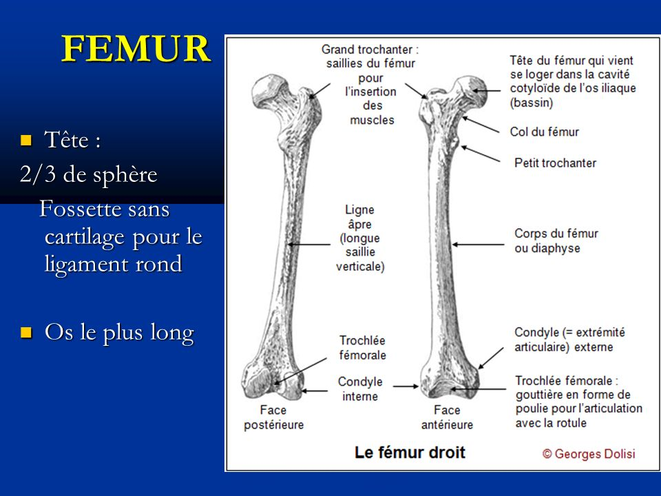 FEMUR Tête : Tête : 2/3 de sphère Fossette sans cartilage pour le ligament rond Fossette sans cartilage pour le ligament rond Os le plus long Os le plus long