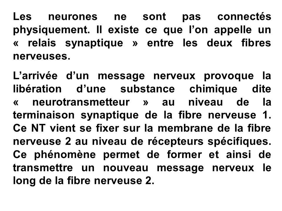 Les neurones ne sont pas connectés physiquement. Il existe ce que lon appelle un « relais synaptique » entre les deux fibres nerveuses. Larrivée dun m